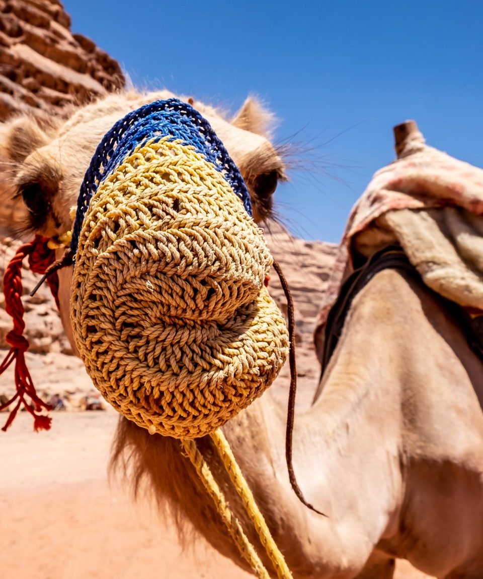 Dromedario nel Wadi Rum
